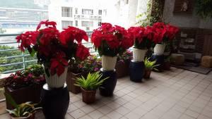 Poinsettias at our hosue 1